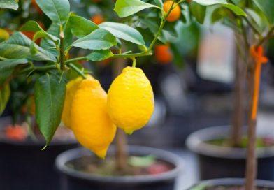 Akár a teraszon is nevelhetünk citromfát